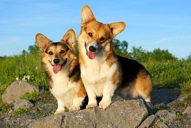 Pembroke Welsh Corgi (Canis familiaris) pair  -  Mark Raycroft
