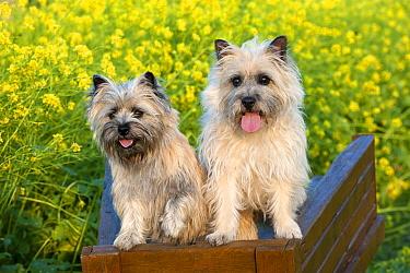 Cairn Terrier (Canis familiaris) pair  -  Mark Raycroft