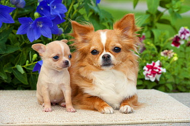 Long-haired Chihuahua (Canis familiaris) parent and puppy  -  Mark Raycroft