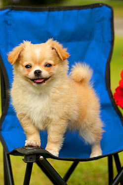 Long-haired Chihuahua (Canis familiaris) puppy on chair  -  Mark Raycroft