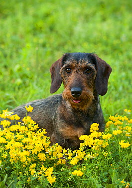 Standard Wire-haired Dachshund(Canis familiaris) in wildflower patch  -  Mark Raycroft