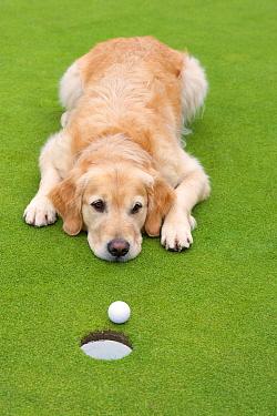 Golden Retriever (Canis familiaris) watching golf ball near hole  -  Mark Raycroft