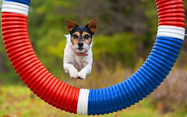 Jack Russell Terrier (Canis familiaris) jumping through hoop in dog agility course  -  Mark Raycroft