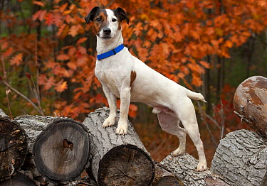 Jack Russell Terrier (Canis familiaris) standing on firewood  -  Mark Raycroft