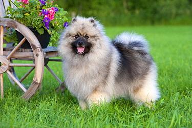 Keeshond (Canis familiaris)  -  Mark Raycroft