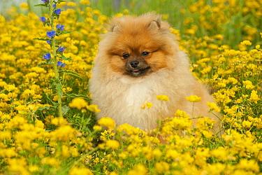Pomeranian (Canis familiaris) in flowering field  -  Mark Raycroft