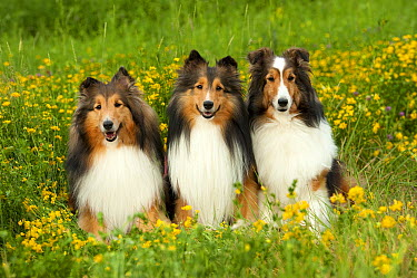 Shetland Sheepdog (Canis familiaris) trio  -  Mark Raycroft