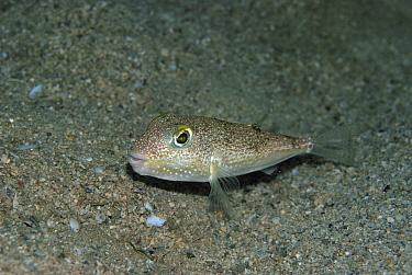 White-spotted Pufferfish (Torquigener albomaculosus), Amami Oshima, Kagoshima, Japan  -  Yoji Okata/ Nature Production