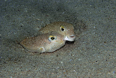 White-spotted Pufferfish (Torquigener albomaculosus) male and female in nest, Amami Oshima, Kagoshima, Japan  -  Yoji Okata/ Nature Production