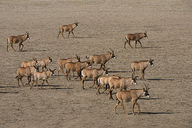 Roan Antelope (Hippotragus equinus) herd on game ranch, Great Karoo, South Africa  -  Pete Oxford