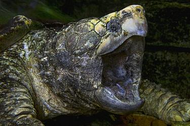 Alligator Snapping Turtle (Macrochelys temminckii)  -  ZSSD