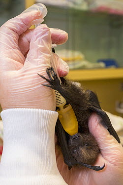 Rodrigues Flying Fox (Pteropus rodricensis) baby being fed, San Diego Zoo Safari Park Animal Care Center, San Diego, California  -  ZSSD