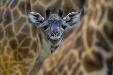 Masai Giraffe (Giraffa tippelskirchi) calf  -  ZSSD