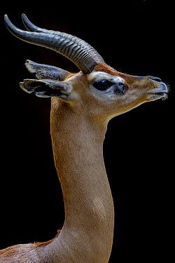 Gerenuk (Litocranius walleri) profile  -  ZSSD