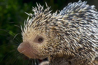 Brazilian Porcupine (Coendou prehensilis), native to Brazil  -  ZSSD