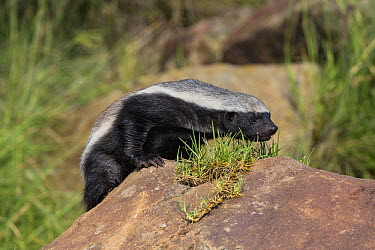Honey Badger (Mellivora capensis)  -  ZSSD