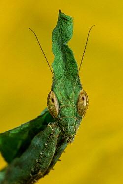 Ghost Mantis (Phyllocrania paradoxa)  -  ZSSD