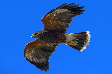 Harris' Hawk (Parabuteo unicinctus)  -  ZSSD