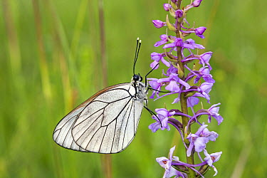 Black-veined White (Aporia crataegi) butterfly resting on orchid plant, Bulgaria  -  Duncan Usher