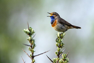 Bluethroat (Luscinia svecica) male singing and displaying, Texel, Holland  -  Duncan Usher