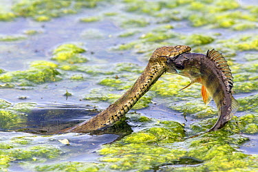 Dice Snake (Natrix tessellata) swimming in lake with fish prey, Bulgaria  -  Duncan Usher