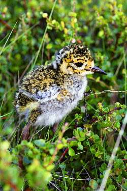 Golden Plover (Pluvialis apricaria) chick, Iceland  -  Duncan Usher