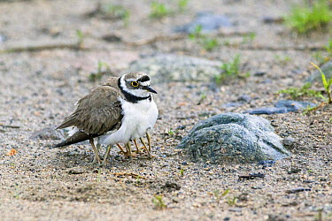 Little Ringed Plover (Charadrius dubius) sheltering chicks hidden under her feathers, Bulgaria  -  Duncan Usher