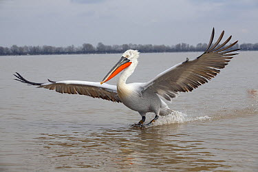 Dalmatian Pelican (Pelecanus crispus) landing, Lake Kerkini, Greece  -  Duncan Usher