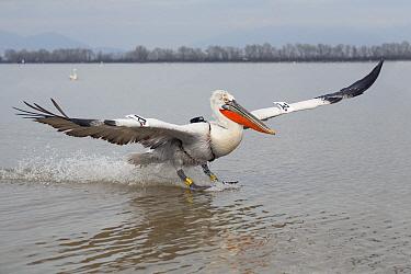 Dalmatian Pelican (Pelecanus crispus) radio-tagged individual landing on lake, Lake Kerkini, Greece  -  Duncan Usher