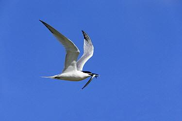 Sandwich Tern (Thalasseus sandvicensis) flying with sand eel in beak, Texel, Holland  -  Duncan Usher