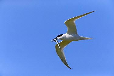 Sandwich Tern (Thalasseus sandvicensis) flying with sand eel in beak, Texel, Holland  -  Duncan Usher