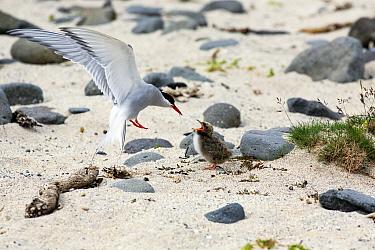 Arctic Tern (Sterna paradisaea) feeding chick in flight, Iceland  -  Duncan Usher