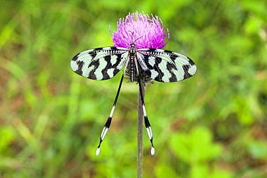 Thread Lacewing (Nemoptera coa) mature imago resting on thistle, Bulgaria  -  Duncan Usher