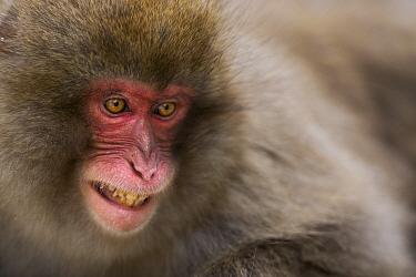 Japanese Macaque (Macaca fuscata) baring teeth in stressful situation, Jigokudani Monkey Park, Japan  -  Fiona Rogers