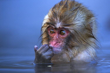 Japanese Macaque (Macaca fuscata) baby in a geothermal spring, Jigokudani Monkey Park, Japan  -  Fiona Rogers