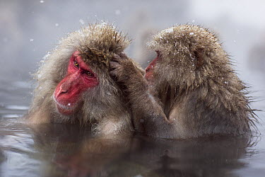 Japanese Macaque (Macaca fuscata) pair grooming in a geothermal spring, Jigokudani Monkey Park, Japan  -  Fiona Rogers