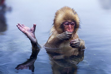 Japanese Macaque (Macaca fuscata) baby with a raised foot in a geothermal spring, Jigokudani Monkey Park, Japan  -  Anup Shah