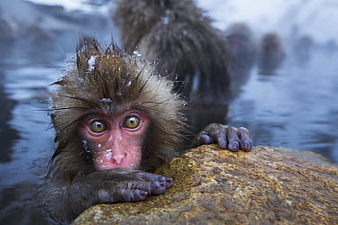 Japanese Macaque (Macaca fuscata) baby at edge of geothermal spring, Jigokudani Monkey Park, Japan  -  Anup Shah