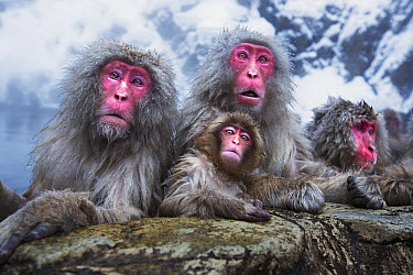 Japanese Macaque (Macaca fuscata) group resting at edge of geothermal spring, Jigokudani Monkey Park, Japan  -  Anup Shah