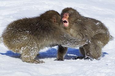 Japanese Macaque (Macaca fuscata) juveniles playing in snow, Jigokudani Monkey Park, Japan  -  Anup Shah