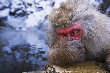 Japanese Macaque (Macaca fuscata) male resting at edge of geothermal spring with hand on nose, Jigokudani Monkey Park, Japan  -  Anup Shah