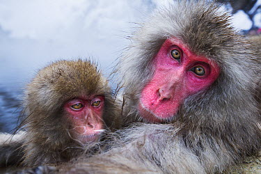 Japanese Macaque (Macaca fuscata) female and her baby relaxing at edge of geothermal spring, Jigokudani Monkey Park, Japan  -  Anup Shah