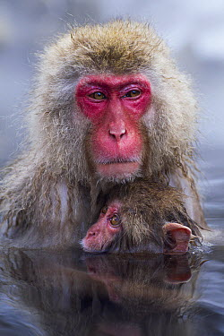 Japanese Macaque (Macaca fuscata) female and baby in a geothermal spring, Jigokudani Monkey Park, Japan  -  Anup Shah
