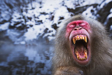 Japanese Macaque (Macaca fuscata) male yawning while resting at edge of geothermal spring, Jigokudani Monkey Park, Japan  -  Anup Shah