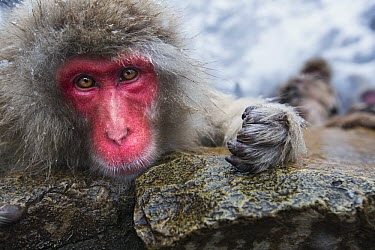 Japanese Macaque (Macaca fuscata) female resting at edge of geothermal spring, Jigokudani Monkey Park, Japan  -  Anup Shah