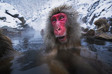 Japanese Macaque (Macaca fuscata) female in a geothermal spring, Jigokudani Monkey Park, Japan  -  Anup Shah