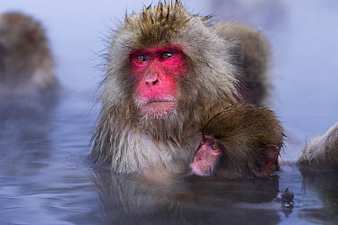Japanese Macaque (Macaca fuscata) female and nursing baby in a geothermal spring, Jigokudani Monkey Park, Japan  -  Anup Shah