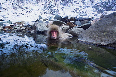 Japanese Macaque (Macaca fuscata) juvenile sitting in a stream fed by a thermal hotspring, Jigokudani Monkey Park, Japan  -  Anup Shah