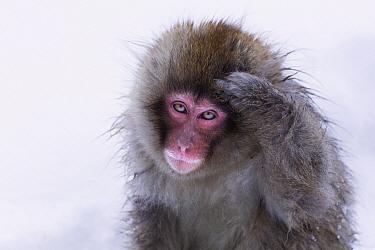 Japanese Macaque (Macaca fuscata) juvenile scratching its head, Jigokudani Monkey Park, Japan. Sequence 1 of 3  -  Anup Shah