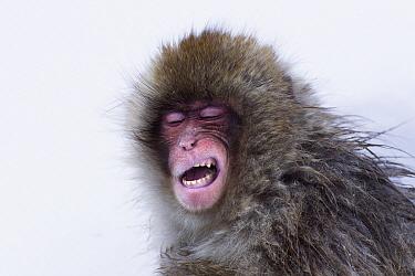 Japanese Macaque (Macaca fuscata) juvenile yawning, Jigokudani Monkey Park, Japan. Sequence 3 of 3  -  Anup Shah